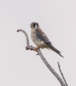 American Kestrel, Florham Park, NJ, Sep. 21, 2013 (photo by Chuck Hantis).
