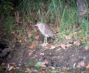 Black-crowned Night-Heron, Lincoln Park, NJ, Sep. 5, 2013 (didgiscoped by J. Klizas)