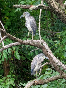 Yellow-crowned Night-Herons, Parsippany, NJ, Sep. 12, 2013 (photo by Glenn Mahler).