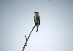 Olive-sided Flycatcher, Oak Meadows, Rockaway Twp., NJ, Sep. 5, 2013 (digiscoped by Jonathan Klizas).