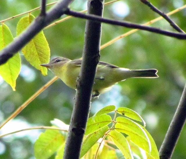 Philadelphia Vireo, Glenhurst  Meadows, NJ, Sep. 8, 2013 (photo by Dave Emma).