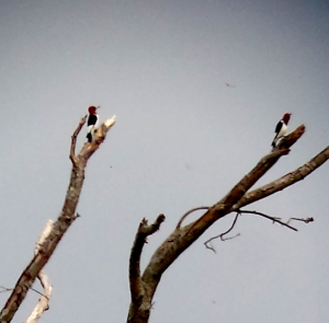 Red-headed Woodpeckers, Troy Meadows, NJ, Sep. 21, 2013 (digi-androided by Jamie Glydon).