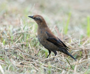 Rusty Blackbird, Great Swamp NWR, NJ, Sep. 26, 2013 (photo by Chuck Hantis).