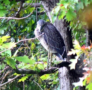 Yellow-crowned Night-Heron, Parsipany, NJ, Sep. 30, 2013 (photo by Jim Mulvey).