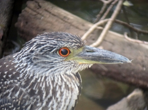 Yellow-crowned Night-Heron, Parsippany, NJ, Sep. 14, 2013 (digiscoped by Jonathan Klizas).