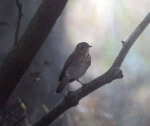 ID photo of a Gray-cheeked Thrush, Troy Meadows, NJ, Oct. 5, 2013 (digiscoped by Jonathan Klizas).