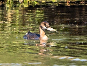 Pied-billed Grebe, Hanover Twp., NJ, Oct. 12, 2013 (photo by Chuck Hantis).