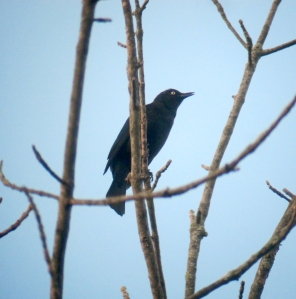 Rusty Blackbird, Troy Meadows, NJ, Oct. 12, 2013 (digiscoped by Jonathan Klizas).