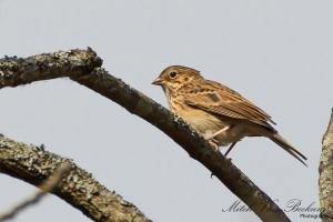 Vesper Sparrow, Troy Meadows, NJ, Oct. 29, 2013 (photo by Mitch Van Beekum).