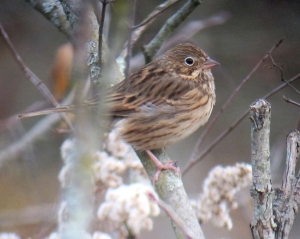 Vesper Sparrow, Troy Meadows, NJ, Oct. 23, 2013 (digiscoped by Jonathan Klizas)