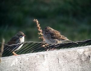Vesper Sparrow, Whippany, NJ, Oct. 26, 2013 (photo by Jamie Glydon).
