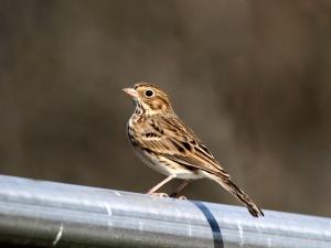 Vesper Sparrow, Duke Farms, NJ, Oct. 29, 2013 (photo by Jeff Ellerbusch).