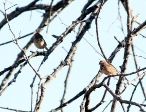 Vesper Sparrows, Duke Farms, NJ, Oct. 29, 2013 (photo by Jeff Ellerbusch).