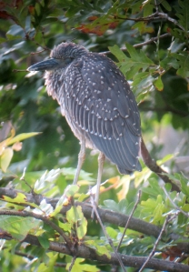 Yellow-crowned Night-Heron, Parsippany, NJ, Oct. 8, 2013 (digiscoped by Jonathan Klizas).