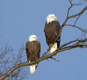 Bald Eagles, Great Swamp NWR, NJ, Nov. 29, 2013 (photo by Chuck Hantis).