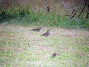 American Pipits in Mt. Olive Twp., NJ, Nov. 2, 2013 (digiscoped by Jonathan Klizas).