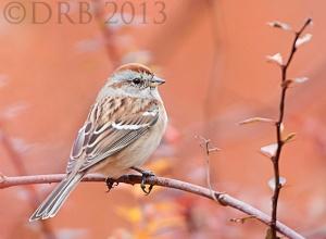 Am. Tree Sparrow, Troy Meadows, NJ, Nov. 6, 2013 (photo by Dave Blinder)