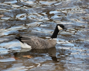 Cackling Goose, Hillsborough Twp., Nov. 19, 2013 (photo by Jeff Elerbusch)