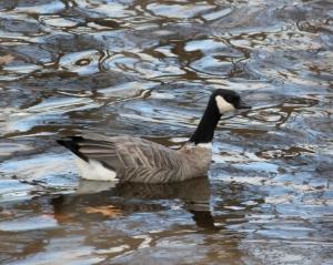 Cackling Goose, Hillsborough Twp., Nov. 19, 2013 (photo by Jeff Elerbusch)