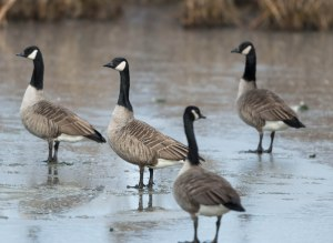 Canada Geese on the Ice, Hanover  Twp., Nov. 24, 2013 (photo by Chuck Hantis).