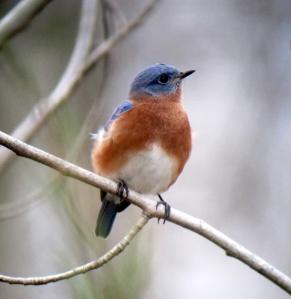 Eastern Bluebird, Lincoln Park Gravel Pits, NJ, Nov. 7, 2013 (digiscoped by J. Klizas)