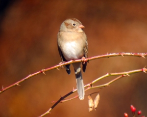 Field Sparrow, Troy Meadows, NJ, Nov. 8, 2013 (digiscoped by Jonathan Klizas).