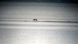 Red Fox at Lake Hopatcong, Nov. 7, 2013 (digiscoped by Jonathan Klizas).