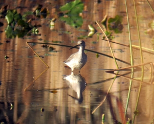 Greater Yellowlegs, Troy Meadows, NJ, Nov. 8, 2013 (digiscoped by Jonathan Klizas).