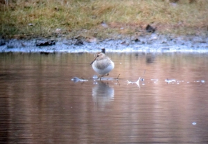 Pectoral Sandpiper, Loantaka Brook Reservation, Nov. 7, 2013 (digiscoped by Jonathan Klizas).