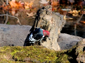 Red-headed Woodpecker, Chatham Twp., Nov. 18, 2013 (photo by Jim Mulvey)