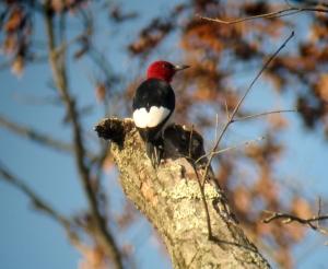 Red-headed Woodpecker, Long Hill, NJ, Nov. 10, 2013 (digiscoped by J. Klizas).