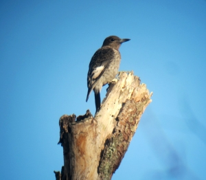 Juvenile Red-headed Woodpecker, Long Hill, NJ, Nov. 10, 2013 (digiscoped by J. Klizas).