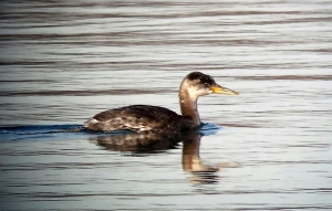 Red-necked Grebe, Lake Parsippany, NJ, Nov. 30, 2013 (photo by Jamie Glydon)