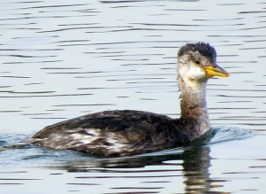 Red-necked Grebe, Lake Parsippany, NJ, Nov. 30, 2013 (photo by Jill Homcy)