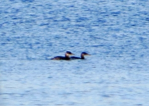 Red-necked Grebes, Budd Lake, NJ, Nov. 25, 2013 (photo by Alan Boyd).