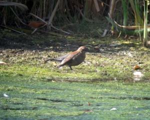 Rusty Blackbird, Loantaka Brook Reservation, NJ, Nov. 3, 2013  (digiscoped by Jonathan Klizas).