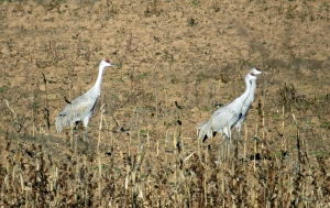 Sandhill Cranes, Franklin Twp., Nov. 23, 2013 (photo by Kurtis Himmler).