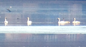 Tundra Swans, Lake Hopatcong, Nov. 16, 2013 (iPhone ID photo by J. Klizas).