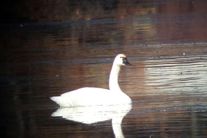 Tundra Swan, Lake Hopatcong, Nov. 16, 2013 (photo by Jamie Glydon).
