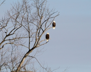 Bald Eagles at Lake Hopatcong, NJ, Dec. 31, 2013 (photo by J. Klizas).