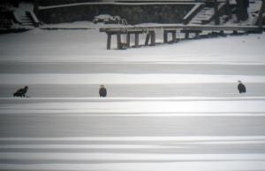 Bald Eagles, Lake Hopatcong, NJ, Dec. 15, 2013 (digiscoped by Jonathan Klizas).