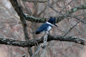 Belted Kingfisher, Loantaka Brook Reservation,  NJ, Dec. 19, 2013 (photo by Jim Mulvey).