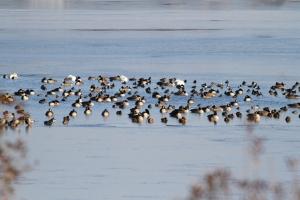 Waterfowl at Lake Hopatcong, NJ, Dec. 31, 2013 (photo by J. Klizas).