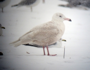 Glaucous Gull, Hillsborough Twp., Dec. 17, 2013 (digiscoped by Jonathan Klizas).