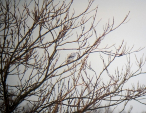 Leucistic Red-tailed Hawk, Parsippany, NJ, Dec. 21, 2013 (digiscoped by Jonathan Klizas).