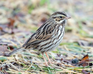Savannah Sparrow, Florham Park,  NJ, Dec. 15, 2013 (photo by Chuck Hantis).
