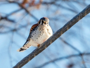 American Kestrel, Great Swamp NWR, Jan. 3, 2014 (photo by Chuck Hantis).