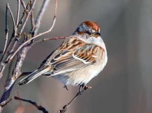 American Tree Sparrow, Great Swamp NWR,  NJ, Jan. 3, 2014 (photo by Chuck Hantis).