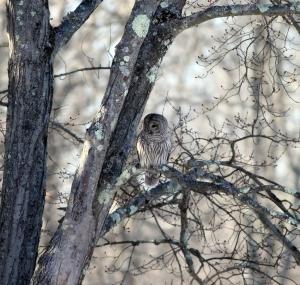 Barred Owl, Great Swamp NWR, Jan. 24, 2014 (photo by J. Klizas)