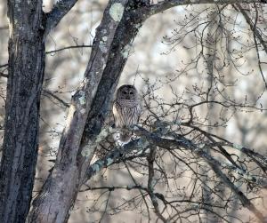 Barred Owl, Great Swamp NWR, Jan. 24, 2014 (photo by Jonathan Klizas)